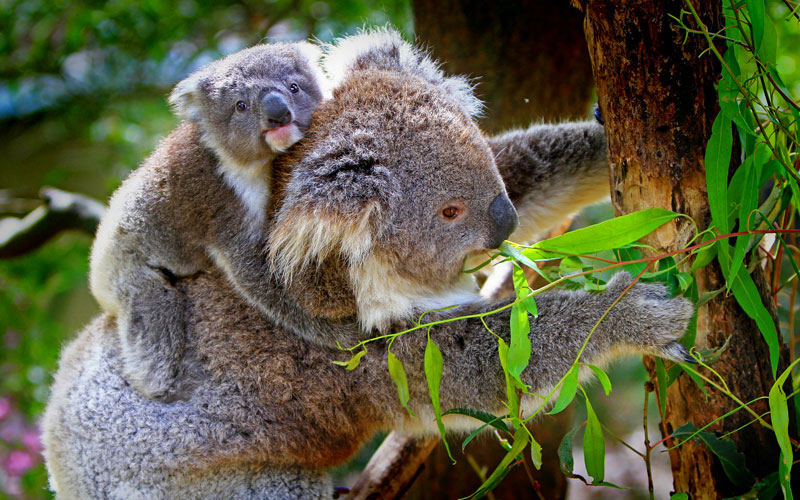Norwegian Koala Bears in Australia