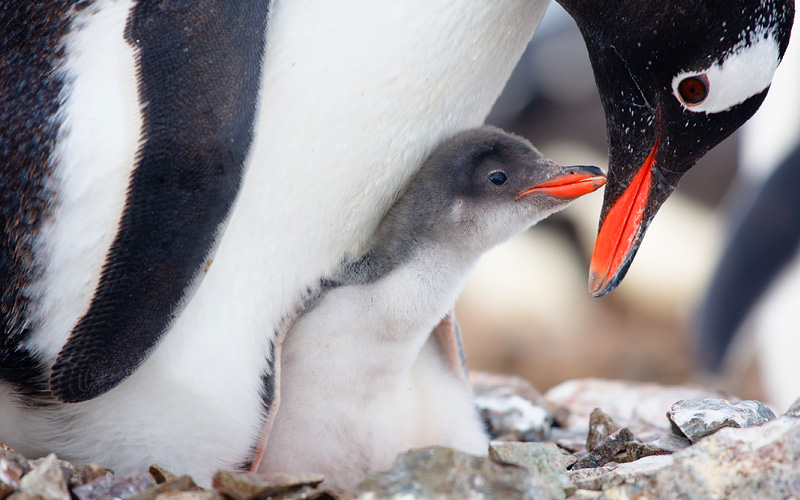 Penguin in its nest to protect her cub in Antarcti