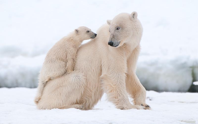 Polar Bear with cub in the Arctic