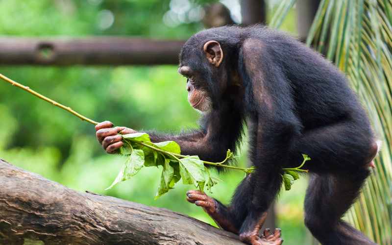 Chimpanzee at Singapore Zoo Asia Princess Cruises