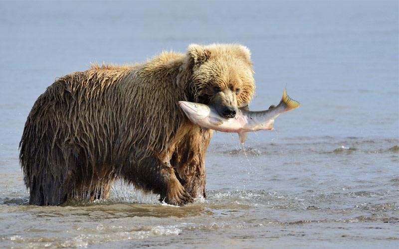 Grizzly Bear Alaska Regent Seven Seas Cruises