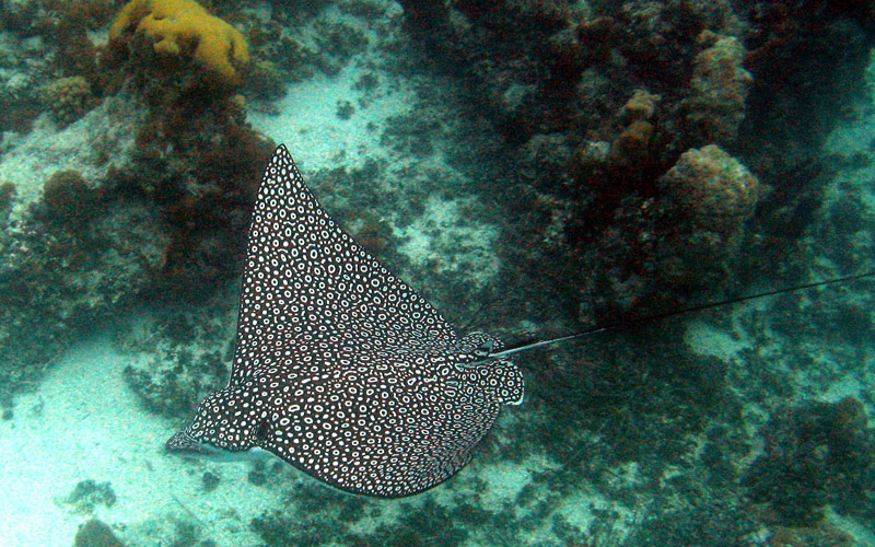 Eagle Ray in Mexico