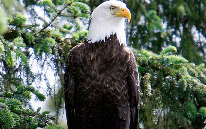 Royal Caribbean Alaska Cruisetour Bald Eagle