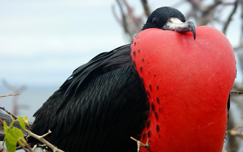 Silversea Galapagos Cruises Frigatebird