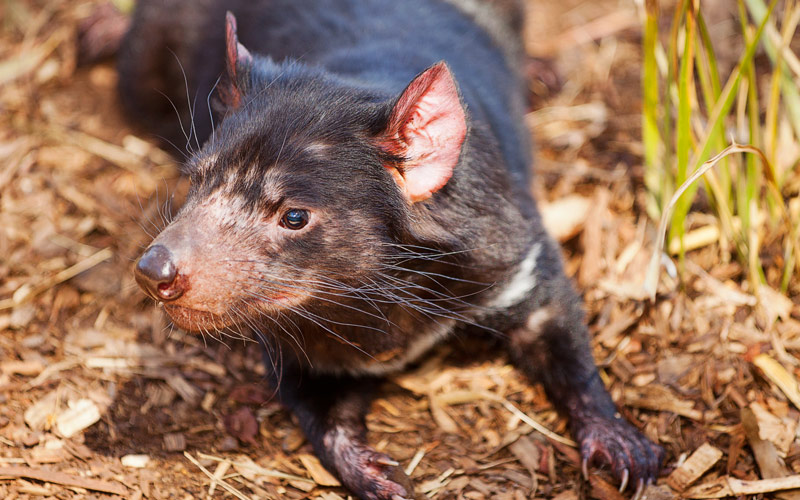 Tasmanian Devil Silversea Australia New Zealand