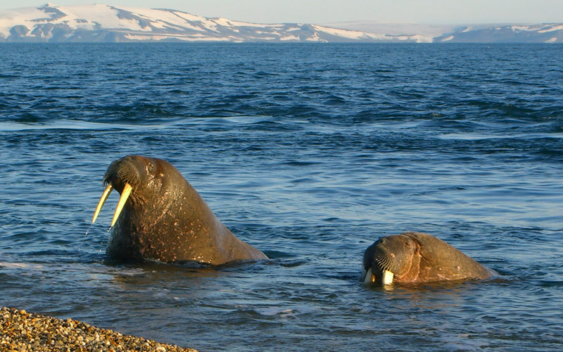 Walrus in the Arctic Circle Silversea Cruises
