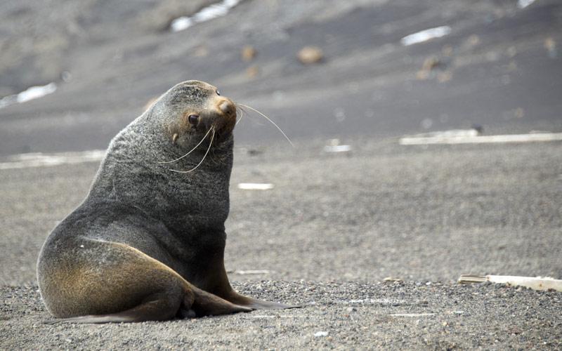 Weddell seal Deception Island Antarctica Silvesea