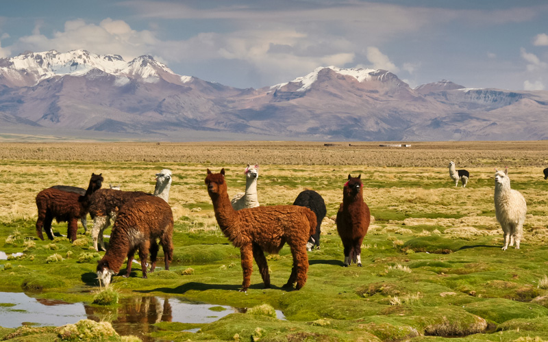 Llamas on Bolivian altiplano with Andean volcanoes