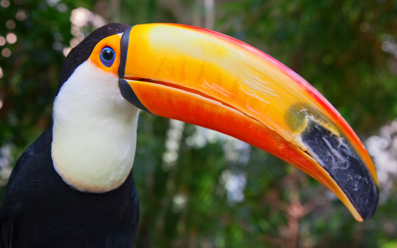 A colorful giant toucan South America
