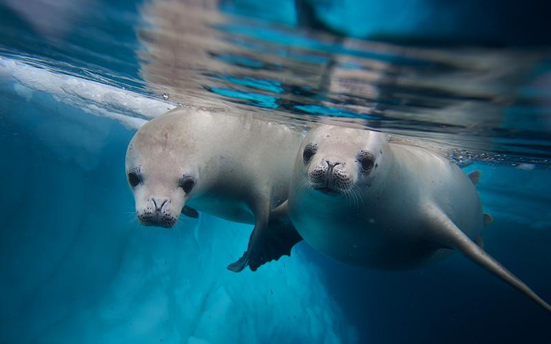 Two diving seals Antarctica