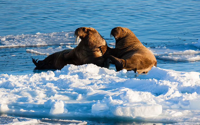 Two walrus resting on pack ice arctic North Pole S