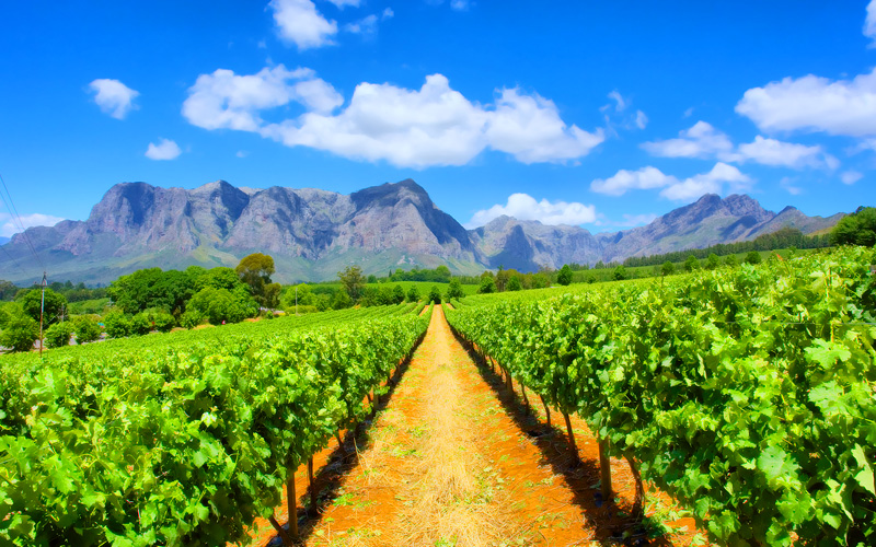 Vineyards Cape Town Western Cape South Africa