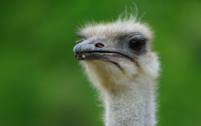Ostrich in Curacao - Windstar Cruises