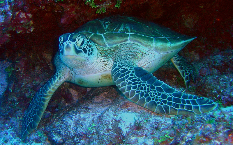 Sea Turtle - Windstar Cruises