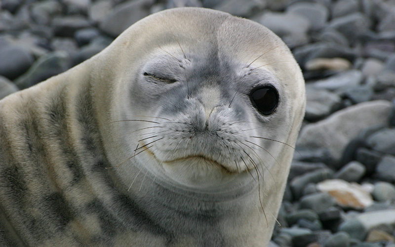 Winking seal in Antarctica Livingston Island in An