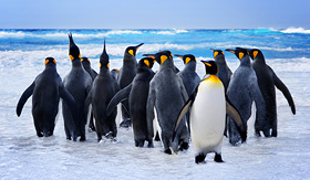Antarctica king penguins Falkland Islands