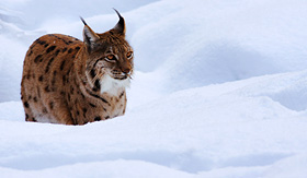 Artic Cruise Lynx in the snow