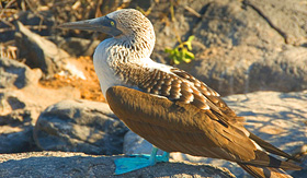 Avalon Waterways blue-footed booby Galapagos