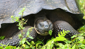 Avalon Waterways Galapagos Giant Tortoise Galapagos Islands Ecuador