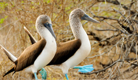 Avalon Waterways Galapagos Island blue footed boobie