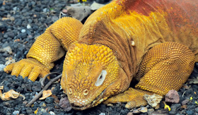 Avalon Waterways land iguana in the Charles Darwin research station Galapagos