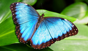 Azamara Club Cruises Blue Morpho Butterfly