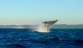 See majestic dolphins and whales in Lahaina