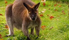 Azamara Club Cruises - Kangaroo