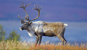 Caribou in Denali Nation Park, Alaska