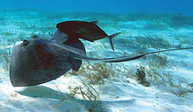 Carnival Cruise Lines stingray swimming under water