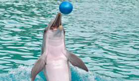A dolphin playing ball