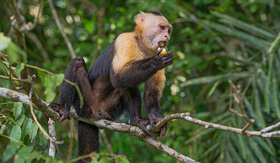Celebrity Cruises Capuchin Monkey Lake Gatun Panama Canal