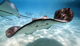 Celebrity Cruises close up of stingray swimming under water