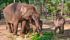 Celebrity Cruises Elephant family Bali Indonesia