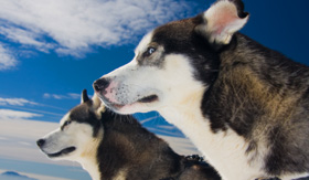Celebrity Cruises Huskies in Alaska