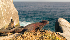 Celebrity Cruises iguana perched on a rock