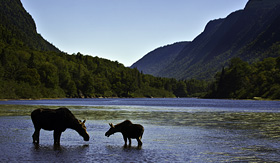 Celebrity Cruises moose in Jacques Cartier National Park Quebec Canada