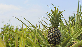 Celebrity Cruises pineapple growing in pinapple plantation