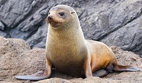Crystal Cruises - Fur Seal in New Zealand