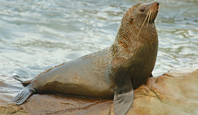 Crystal Cruises Fur Seal laying on rocks