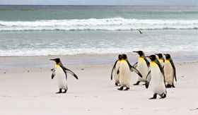 Crystal Cruises King Penguins walking on the beach