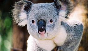 Crystal Cruises - Koala Bear in Australia