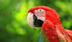 Crystal Cruises Scarlet Macaw in Costa Rica