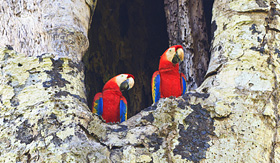 Crystal Cruises Scarlet Macaws in Carara National Park Costa Rica