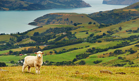Crystal Cruise - Sheep in New Zealand