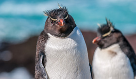 Crystal Cruises two Rockhopper Penguins