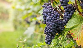 Vineyard in Ensenada, Mexico