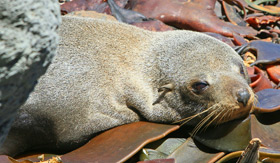 Fur Seal Pup in New Zealand - Cunard Line