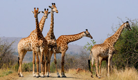 Giraffes in South Africa - Cunard Line