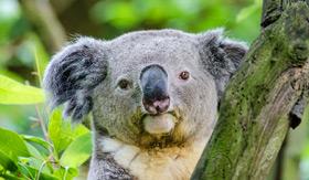 Koala Bear in Australia - Cunard Line